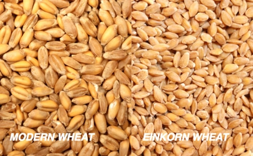 Showing two different types of wheat.