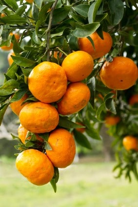 Tree with mandrian oranges