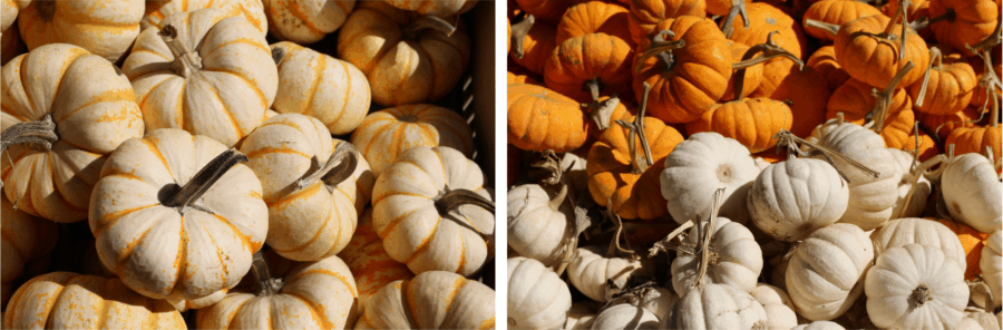bins of orange and white mini pumpkins