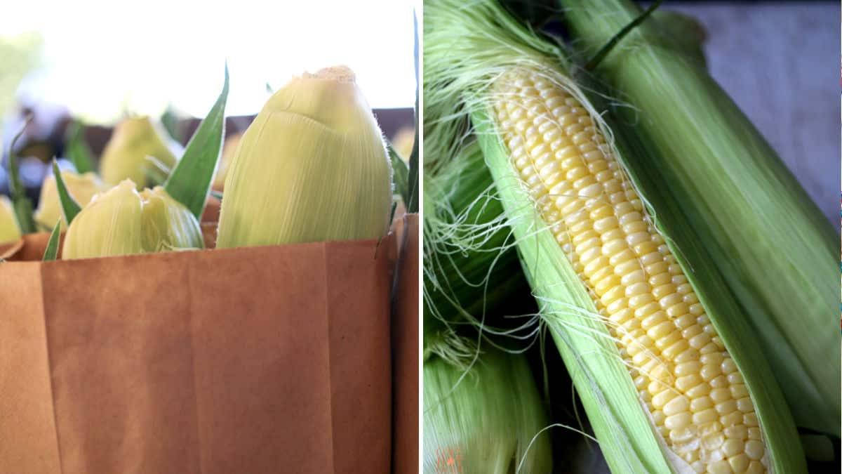 freshly picked corn on the cob.