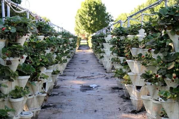 upright strawberry containers