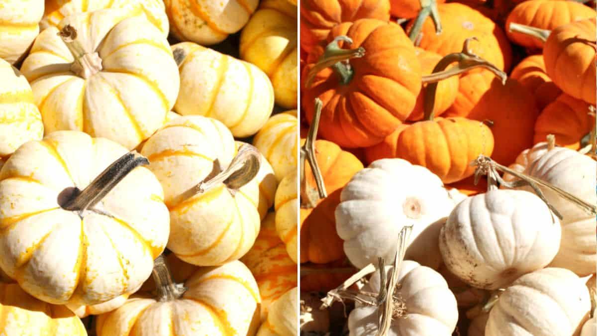 Orange and white mini pumpkins.