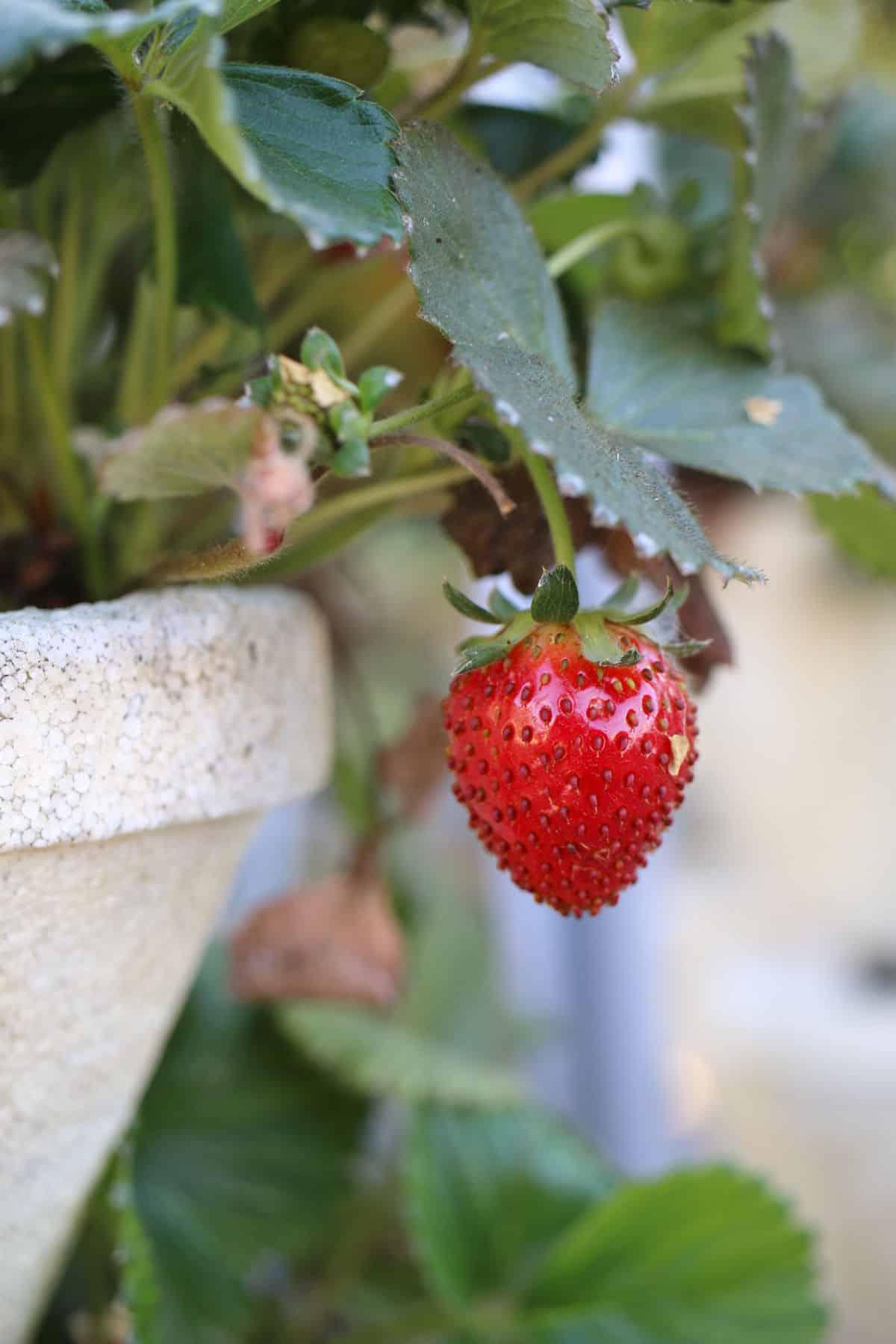 A single strawberry on a plant