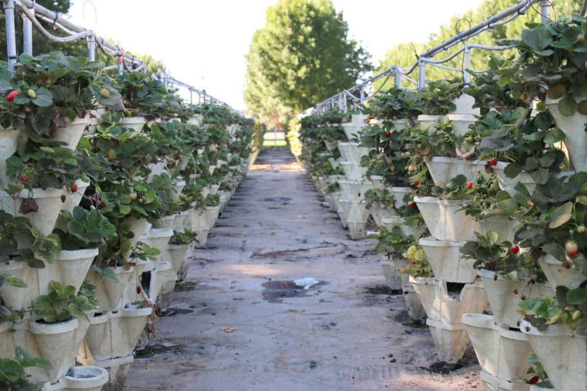 Raised strawberry pots.